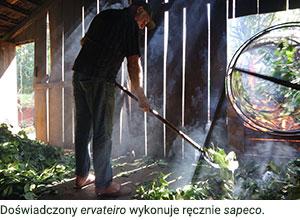 Doświadczony ervateiro wykonuje ręcznie sapeco