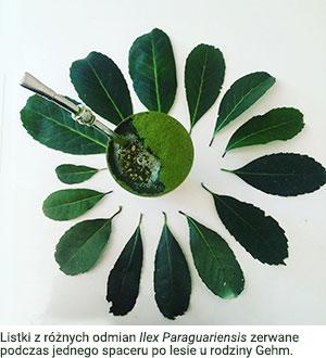 Listki z różnych odmian Ilex Paraguariensis zerwane podczas jednego spaceru po lesie u rodziny Gehm.