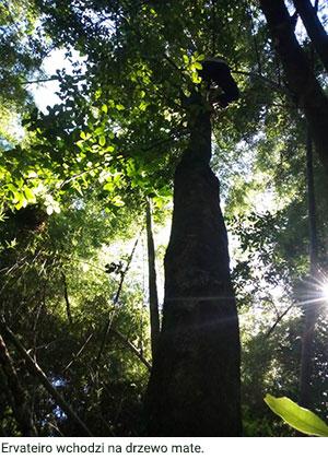 Ervateiro wchodzi na drzewo mate