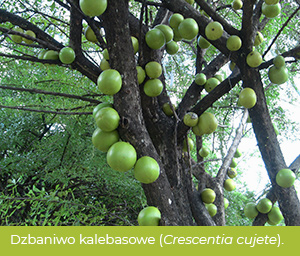 Dzbaniwo kalebasowe (Crescentia cujete), zwane też totumo.