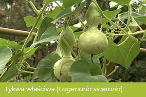 Tykwa pospolita, pot. kalebasa (Lagenaria siceraria).