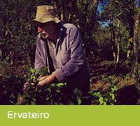 Doświadczony ervateiro podczas zbiorów