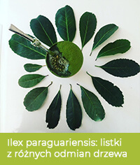 Listki różnych odmian ostrokrzewu paragwajskiego