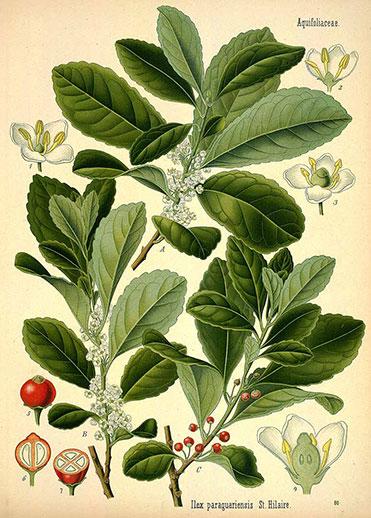 rycina rośliny Yerba mate