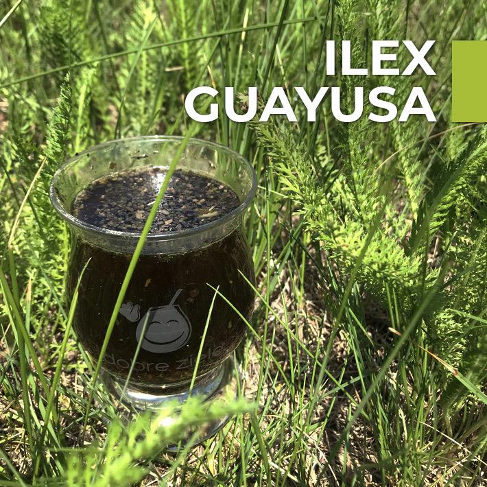Ilex Guayusa - pochodzenie i właściwości